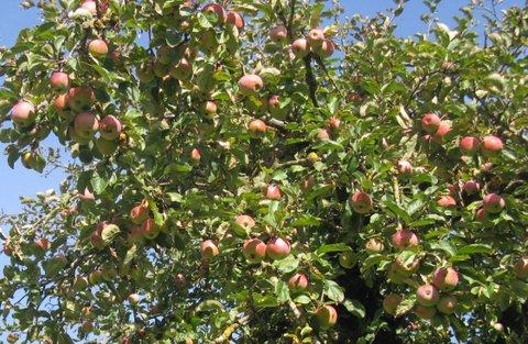 Beispiel Anwendung von Floraforce: Bild von einem Apfelbaum von optimaler Qualität.