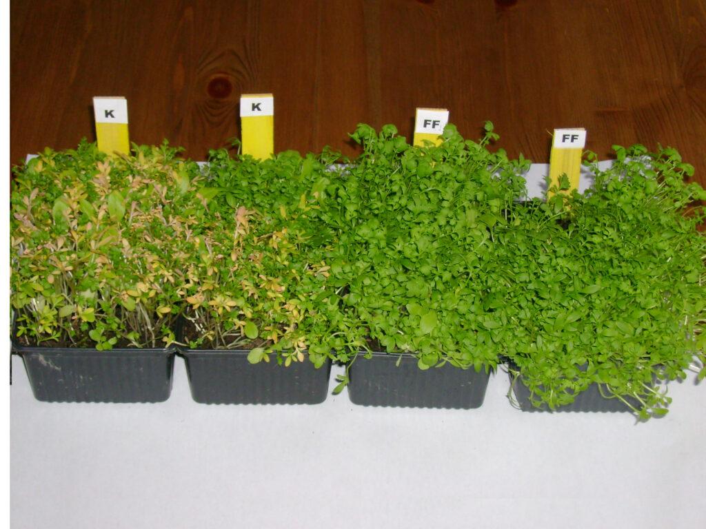 Kressetest zur Überprüfung der Bodenqualität: Bild von Kresse in schlechter Qualität mit gelben Blättern und weniger dicht, daneben optimale Qualität mit dichten, grünen Blättern.