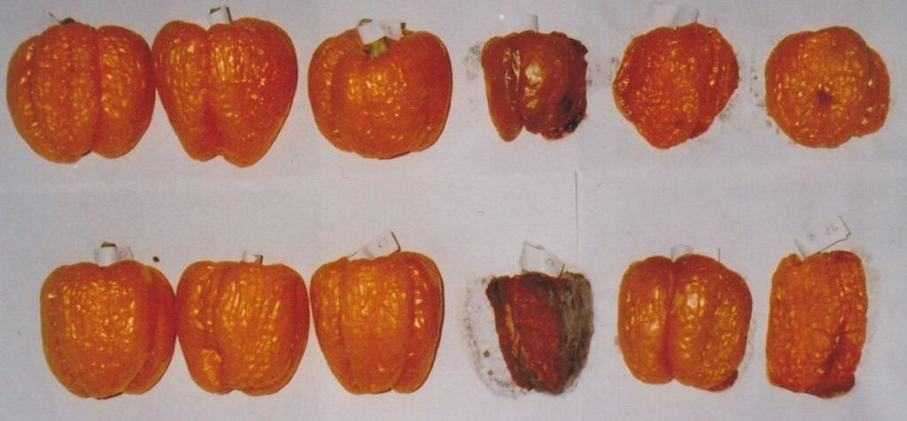 links gesunde paprika, rechts verfaulte paprika
