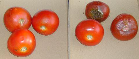 rechts gesunde tomate, links verfaulte tomate